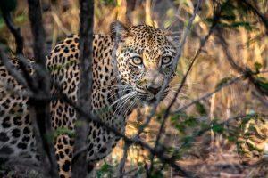 leopard-in-bush-kruger